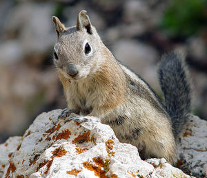 golden-mantled_ground_squirrel