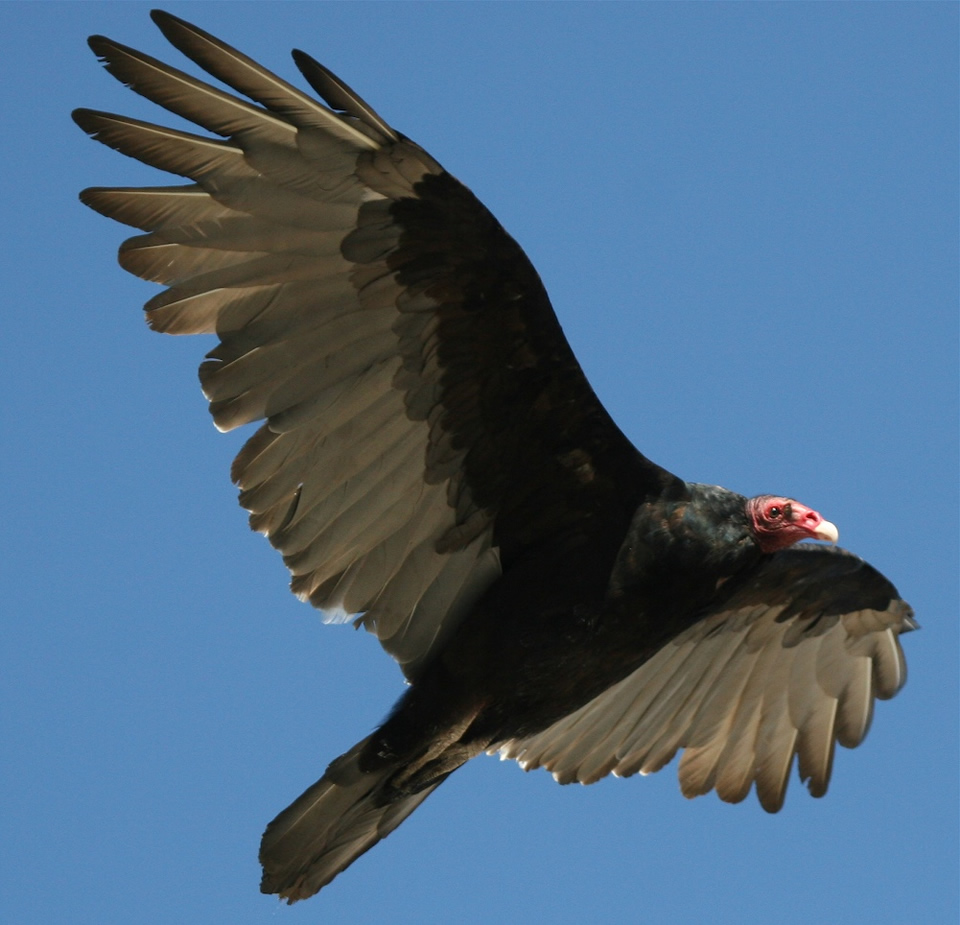 turkey vulture sc5xey